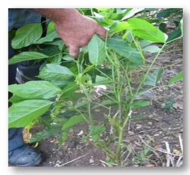 ciencia de cuba_ciencia cubana_Empleo del Abonos verdes en la producción de café_Canavalia ensiformis
