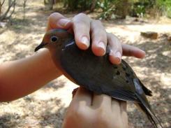ciencia de cuba_ciencia cubana_anillamiento de aves en cuba_estación ecológica siboney juticí (2)