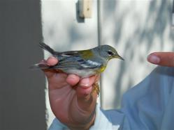 ciencia de cuba_ciencia cubana_anillamiento de aves en cuba_estación ecológica siboney juticí (25)