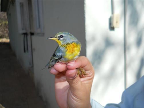 ciencia de cuba_ciencia cubana_anillamiento de aves en cuba_estación ecológica siboney juticí (27)
