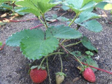 ciencia de cuba_portal de la ciencia cubana_produccion de fresas en la estacion de investigacion agroforestal III frente (2)