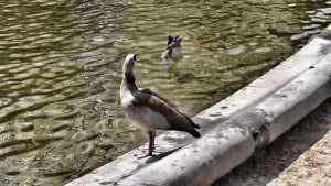 Parc de Bruxells - kaczki!