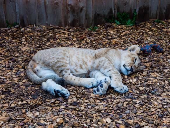 Śpiące lwiątko