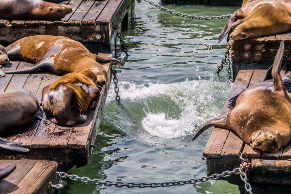 Co robią lwy morskie w San Francisco?