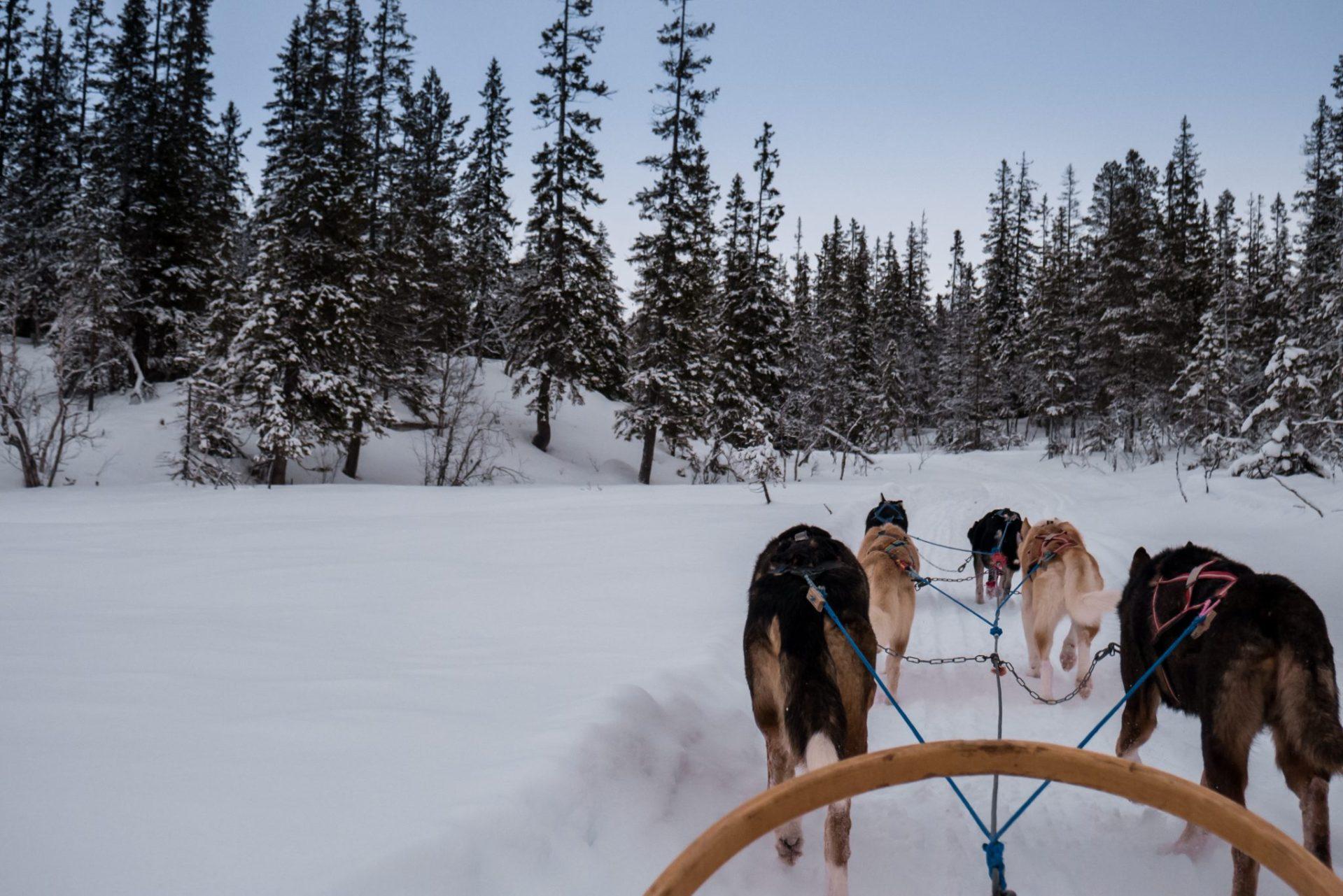 Psi zaprzęg w drodze