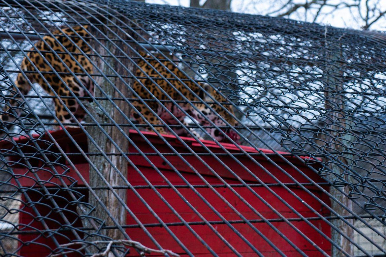 Gepard w trakcie posiłku, Space Farms