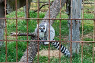Lemur, Space Farms
