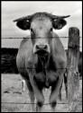 Vache de Madame et Monsieur Hérivault