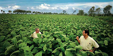 Jose and Jorge Padron in a tobacco field