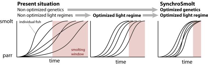 Synchrosmolt_genetics_and_light