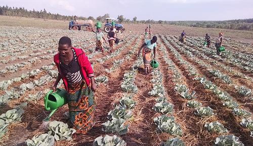Cultivo de hortaliças.