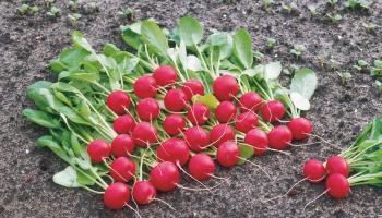 Секрети вирощування соковитого редису. Збережіть!