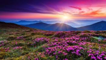 """Парад рододендрону в Карпатах або як цвіте """"червона рута"""" (фото)"""