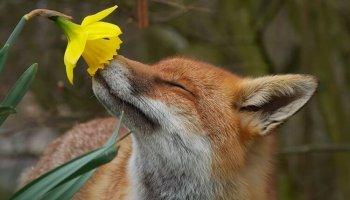 15 зворушливих фотографій тварин, які нюхають квіти