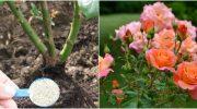 Як правильно підживлявати троянди влітку?
