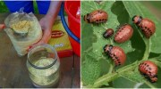 Натуральний засіб, який допоможе позбутися колорадського жука на картоплі