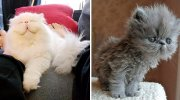 20 нереально пухнастих котів, яких так і хочеться постійно обіймати