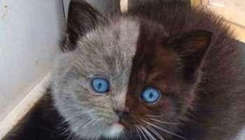 """Дивовижне """"дволике"""" кошеня стало прекрасною кішкою, яка підкорює серця користувачів Instagram"""