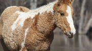 Кучеряві конячки – красиві істоти, про які мало хто знає