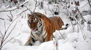 Одного разу з моїм батьком сталася дивиовижна історія: він врятував життя тигриці, а вона натомість подякувала йому…