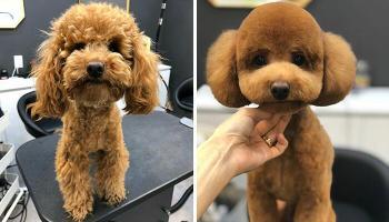 23 собаки, яких не впізнати після того, як їх підстригли