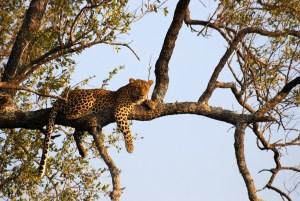 Ağaçta dinlenen bir leopar
