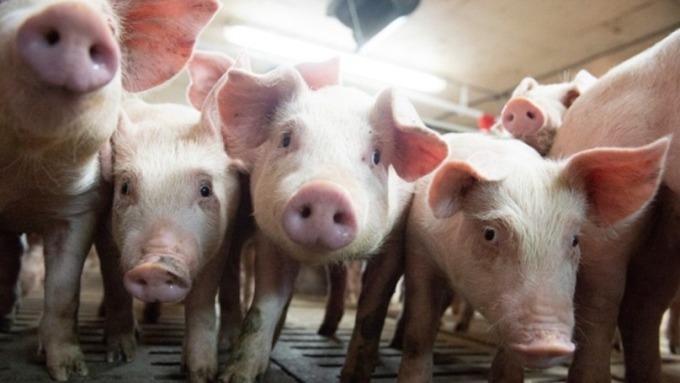 防價格風險 中國業內呼籲快推豬肉期貨 | Anue鉅亨 - A股