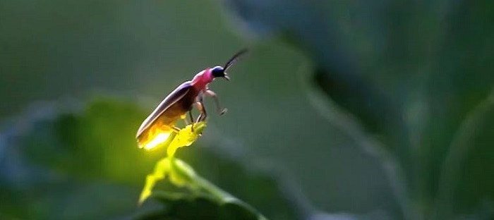 firefly lit up on a leaf