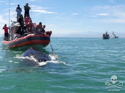Sea Shepherd crew members and Mexican Sailors save an entangled humpback whale during Operation Milagro. Credit: Sea Shepherd Conservation Society