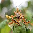 locust-title