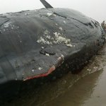 balena-004