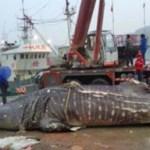 La pesca degli Squali Balena in Cina