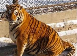 tigri obese di Harbin