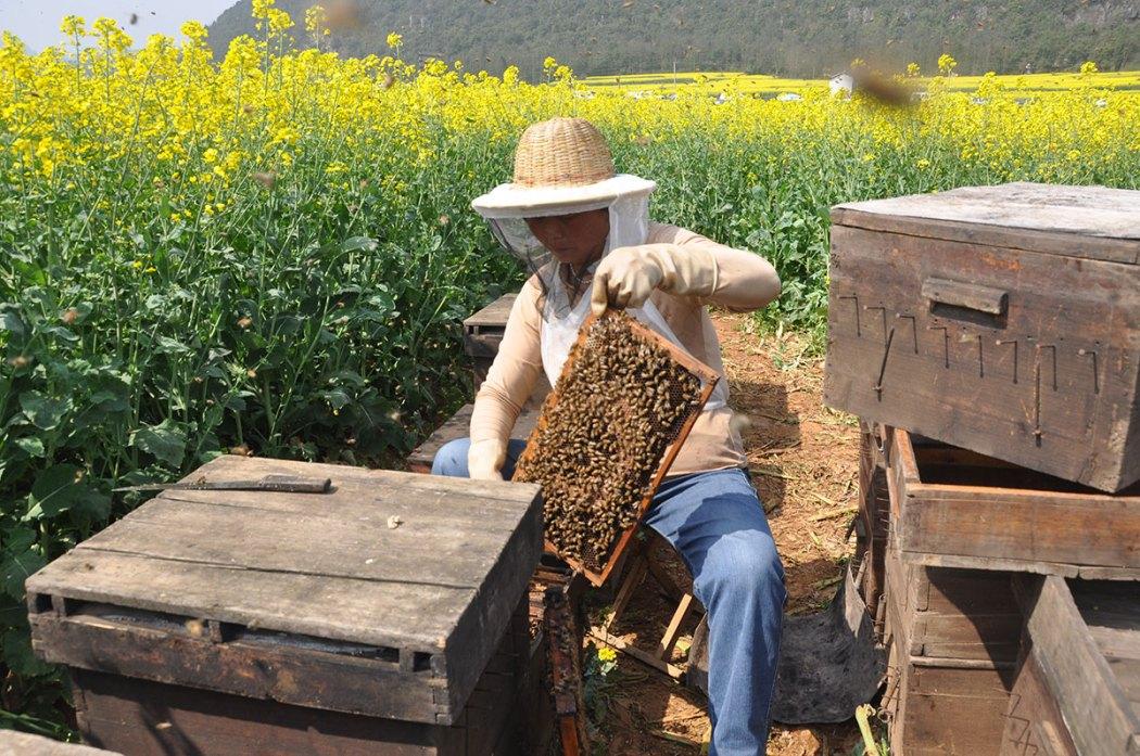 api-miele cinese Luoping