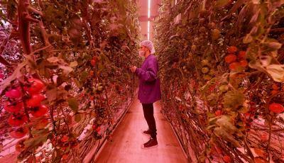 80 Acres Tomato Facility