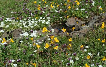 ..with mimulus and red clover