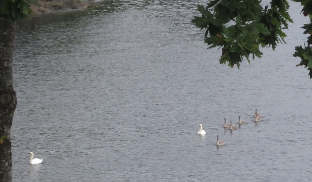 Swans in Os