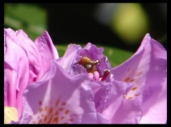 May 27, 2014 - Norwegian bumblebee