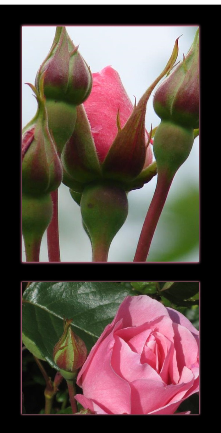 July 4 and 8, 2014 - Lysekloster rose