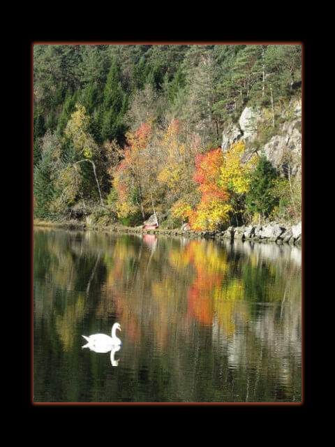 October 15, 2014 - swan in the Pøyla inlet