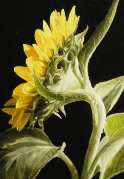 16-Sunflower-II-91-x-122--e1430822354979