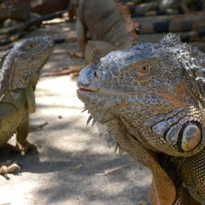 Honduras Iguana Farm