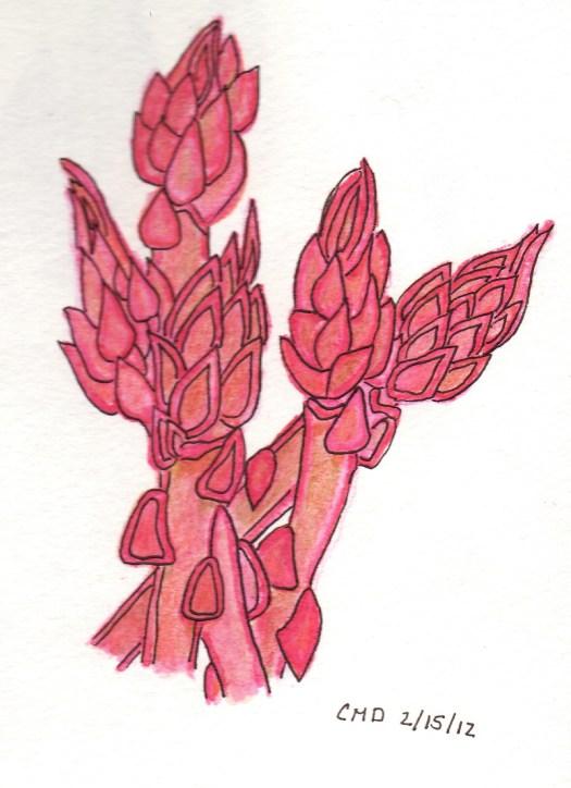 drawing of asparagus using pink watercolor pencil