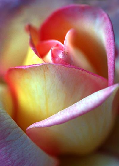 peace-rose-lorez.jpg