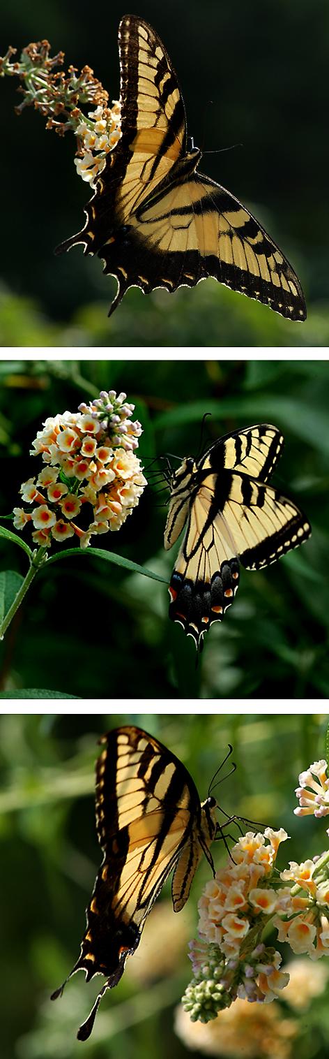 swallowtailsthree.jpg