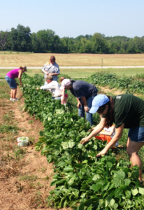 farm picking green beans e