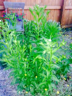 wildflowers daisy fleabane 2