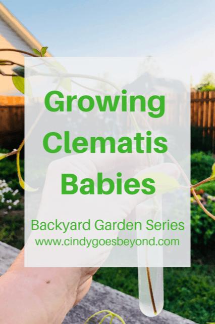 Growing Clematis Babies