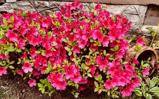 Plant in Fall Azaleas