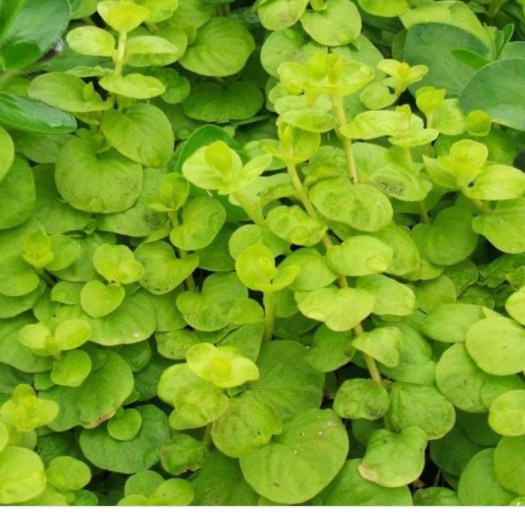 Plants Gone Wild creeping jenny